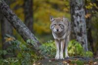 Coyote (1)