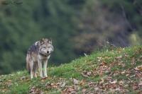 Coyote (2)