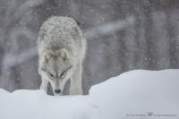 loups arctiques (4).jpg