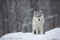 loups arctiques (5).jpg