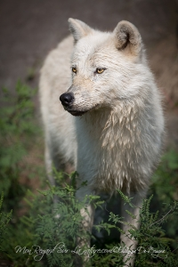 loups arctiques (9).jpg