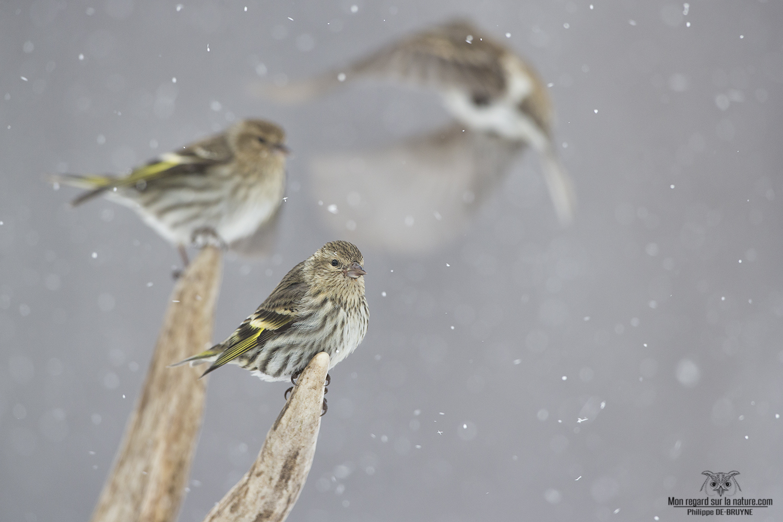 Oiseaux d'hiver (3)