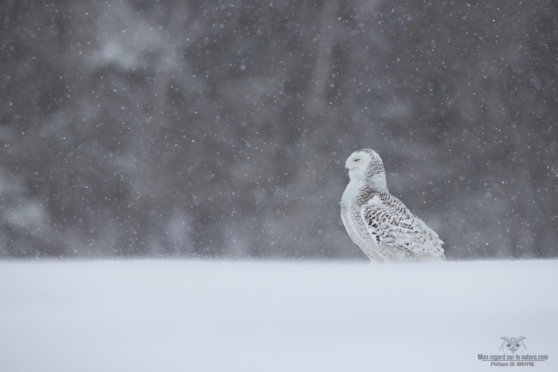 Moment Zen avec le harfang des neiges