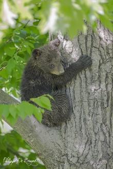 Ourson dans l'arbre