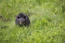 Maman ours en approche !!