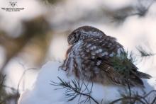Temgmalm qui dort dans son lit de neige