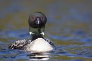 Plongeon huard (74)
