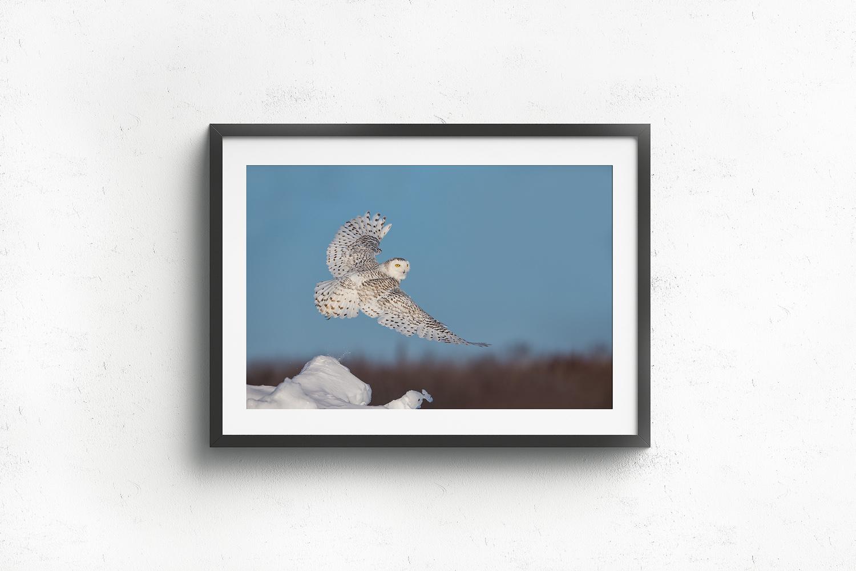 Harfang-des-neiges-femelles-en-vol