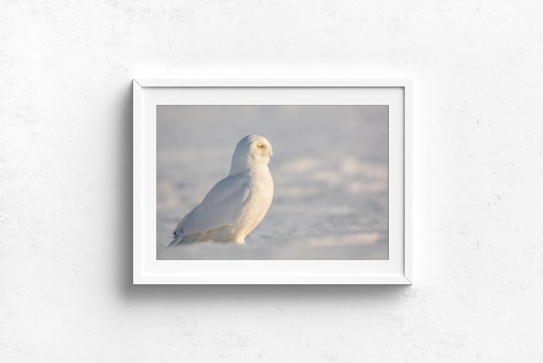 Profil-de-mâle-harfang-des-neiges