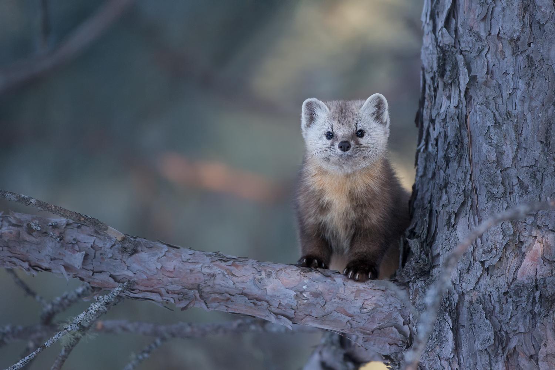 8-Martre des pins