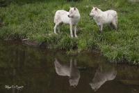 Loup arctique (1)