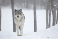 Loup gris_HIL0022 (1).jpg