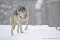 Loup gris_HIL0022 (4).jpg