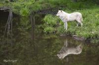 Loup arctique (2)