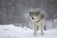 Loup gris_HIL0022 (2).jpg