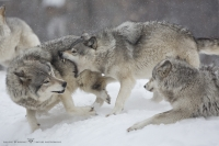 Loup gris_HIL0022 (6).jpg