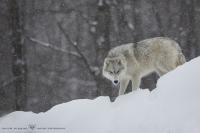 loups arctiques (6).jpg