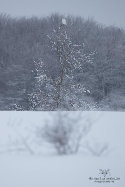 02I2945-Harfang des neiges
