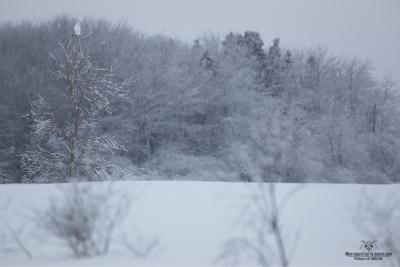 02I2947-Harfang des neiges
