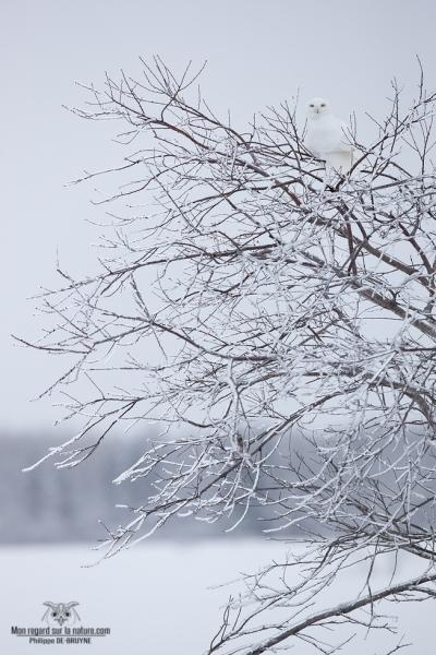02I3548-Harfang des neiges
