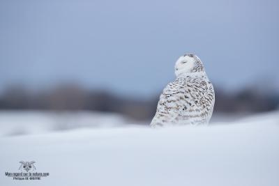 02I3925-Harfang des neiges