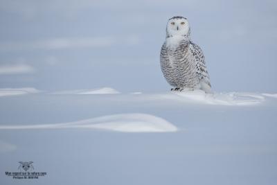 02I5624-Harfang des neiges