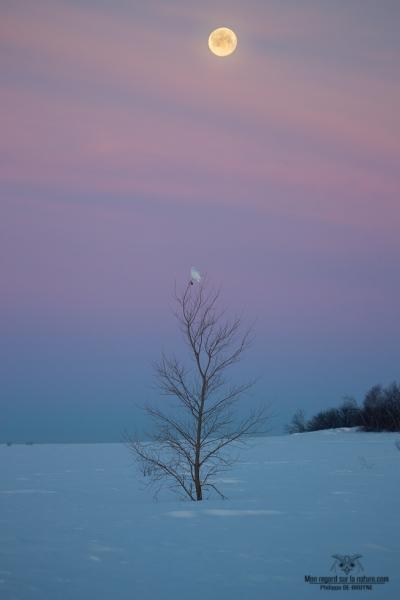 02I6789-Harfang des neiges