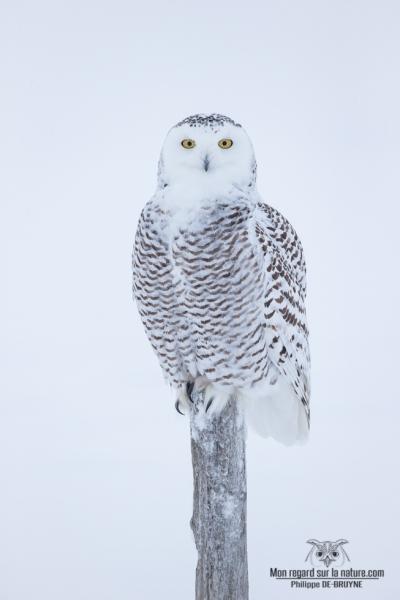 DXP3724-Harfang des neiges