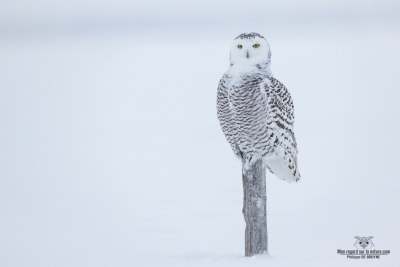DXP3744-Harfang des neiges