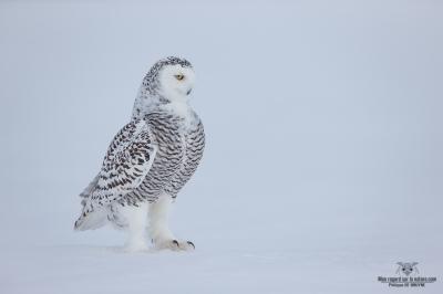 DXP4422-Harfang des neiges