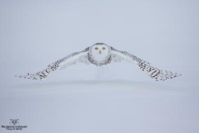 DXP4493-Harfang des neiges