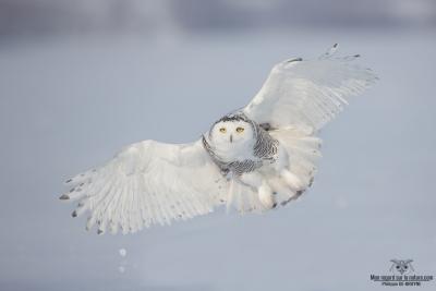 DXP4675-Harfang des neiges