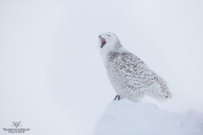 _DXP7583-Harfang des neiges