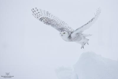 _DXP7619-Harfang des neiges