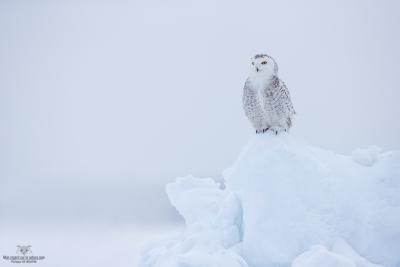 _DXP7670-Harfang des neiges