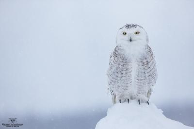 _DXP7699-Harfang des neiges