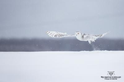 DXP7855-Harfang des neiges