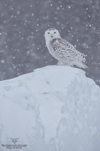 _DXP7970-Harfang des neiges