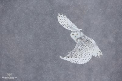 _DXP8336-Harfang des neiges