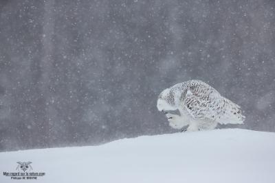 DXP8374-Harfang des neiges