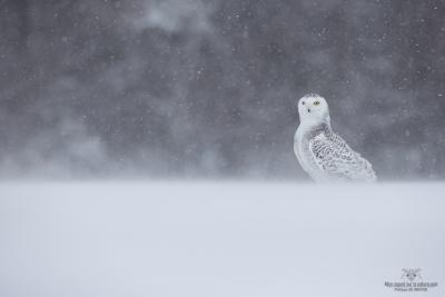 _DXP8449-Harfang des neiges