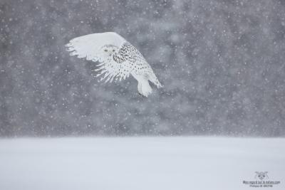 _DXP8615-Harfang des neiges