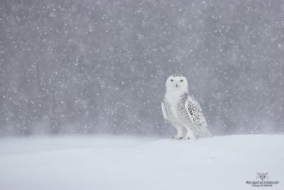 _DXP8636-Harfang des neiges