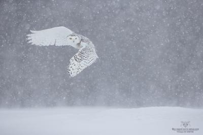 _DXP8643-Harfang des neiges