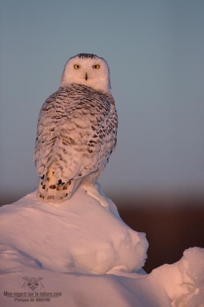 _DXP8896 Harfang des neiges