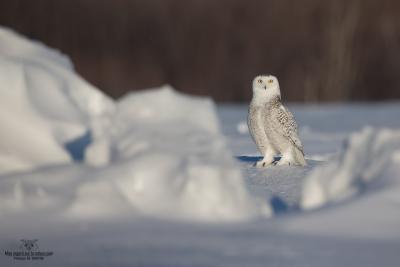 _DXP9201 Harfang des neiges