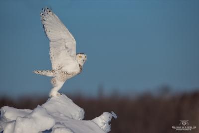 _DXP9383-Harfang des neiges