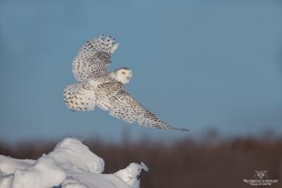 _DXP9384-Harfang des neiges