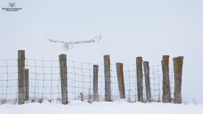 _DXP9642 Harfang des neiges
