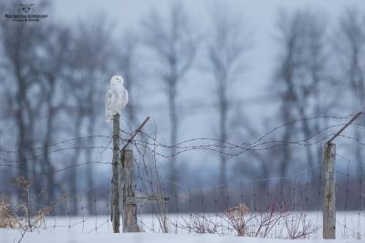 _DXP9845 Harfang des neiges
